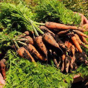 Zanahoria sin tallo.Orgánico.